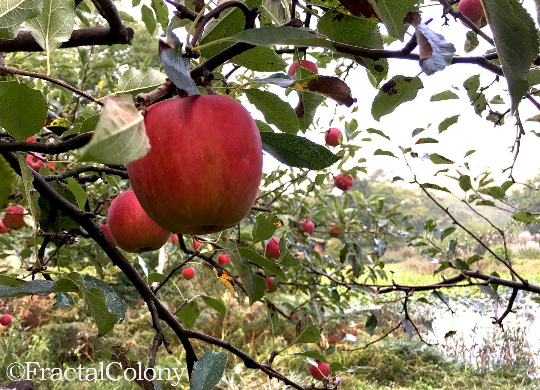 apple りんご